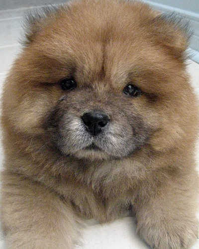 Chow Chow Puppy (image via thedailypuppy.com)