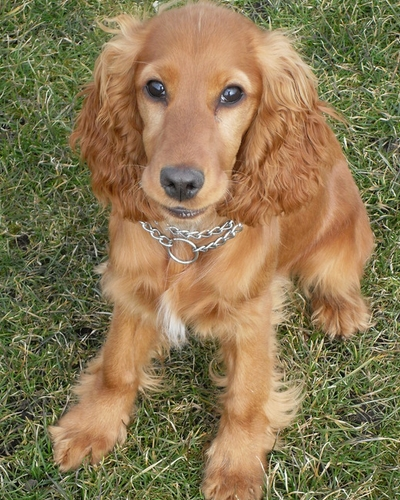 Cocker Spaniel (image via dogtrust.org.uk)