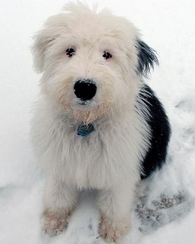 Old English Sheepdog Puppy (image via fanpop.com)