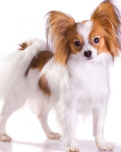 Papillon (image via protecao-pet.blogspot.com)