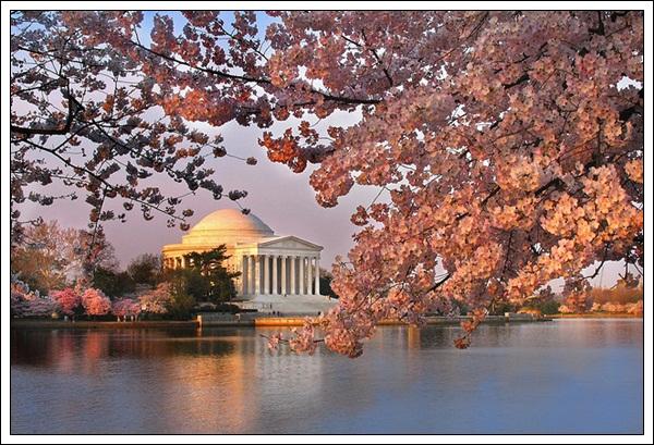 8-Cherry Blossom