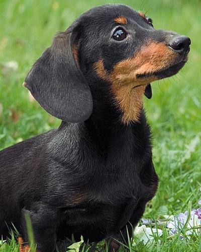 Dachshund (image via dachshunddog.org)