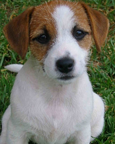 Jack Russell Terrier Puppy (image via dogwallpapers.net)