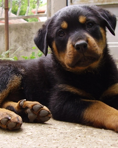 The Rottweiler has a bad reputation but that reputation is undeserved. If raised properly, the Rottweiler can be a loving, affectionate and loyal companion that also makes an excellent guard dog. (image via fanpop.com)