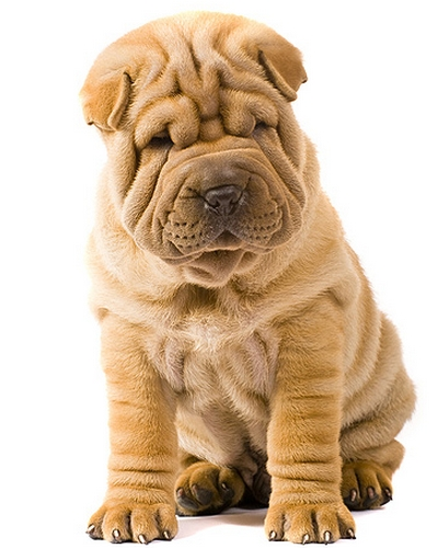 The Shar Pei (image via dogsuniverse.info)