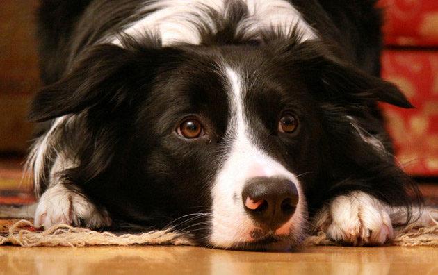 Border Collie Good Family Dog