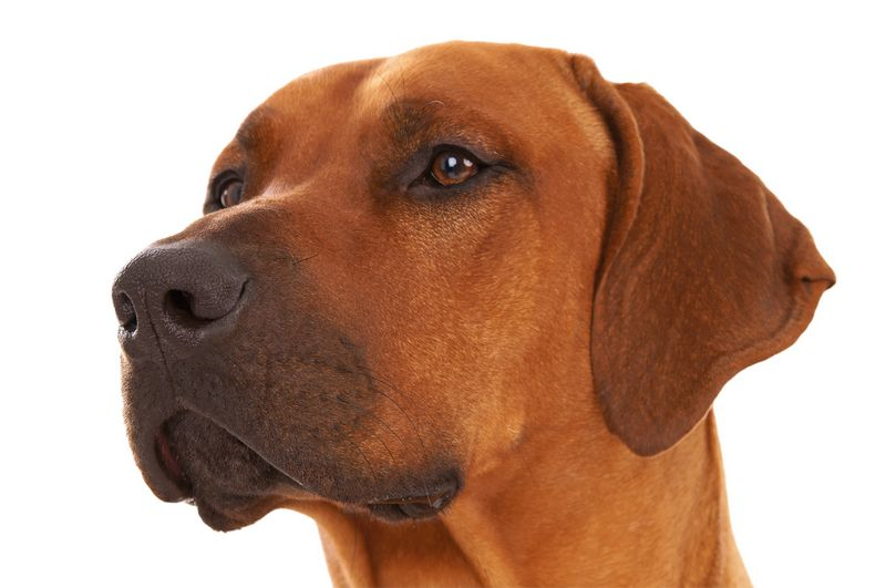 World S Best Guard Dog Breeds